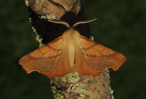Dusky Thorn (Ennomos fuscantaria)
