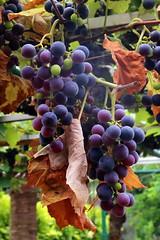Raisins de table en grappe des Alpes maritimes en France