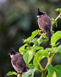 Red whiskered bulbuls - in my garden