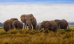 African Bush Elephant Family, Amboseli National Park