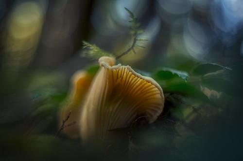 Cantharellus subalbidus, white chanterelle