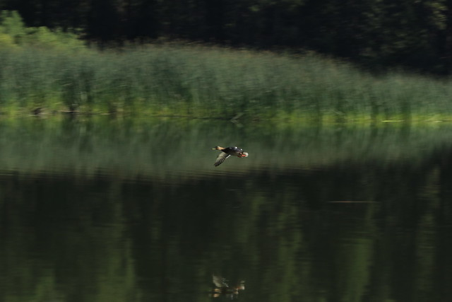 Tried to capture a fast moving mallard duck @humelake @sequoiakingsnps @visitcalifornia this July with my @canonusa 80D as it made its way across the lake. Hard to focus manually on such a fast flight . . .  #nature #landscape #hume #humelake #teamcanon