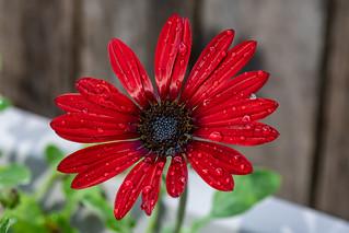 Wet Arctotis hybrid Red Magic