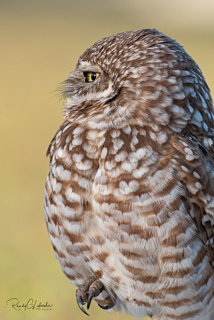 Burrowing Owl - Athene cunicularia | 2019 - 26