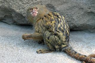Pygmy Marmoset Snacking