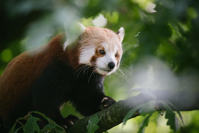 Red Panda - Chester Zoo