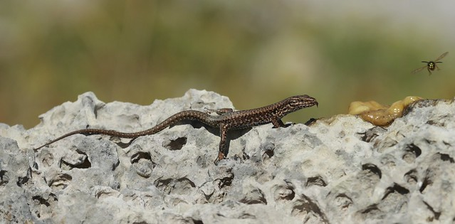 Wall lizard two course meal.