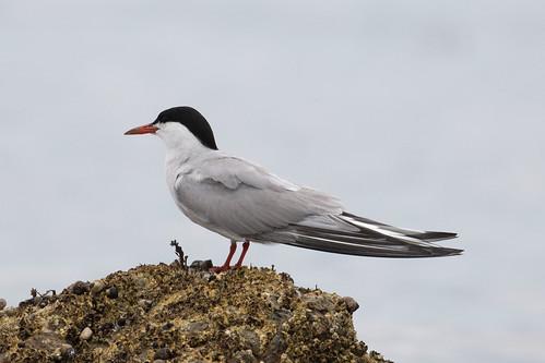 Adult Common Tern