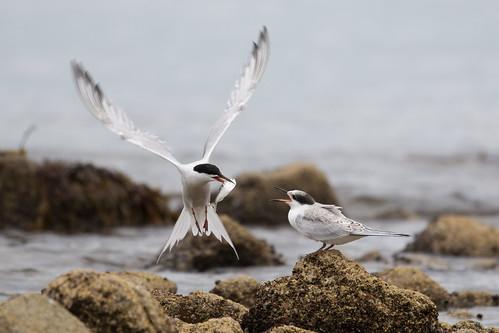 Tern parenting