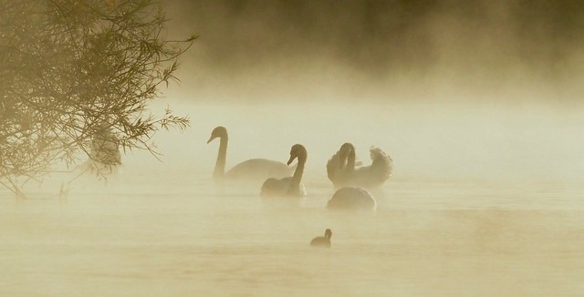 Swans on a cold misty morning. Overton Lake. 18/09/2019