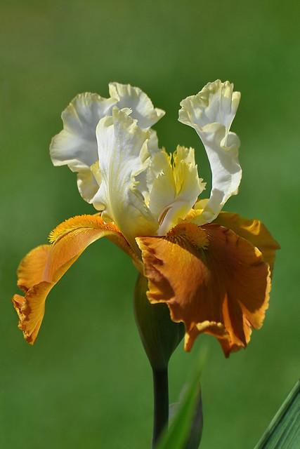 Iris / Ирис двухцветный