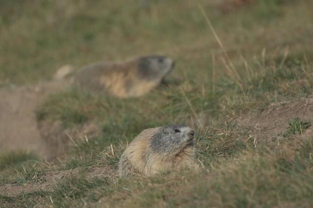 Marmottes du Verdon