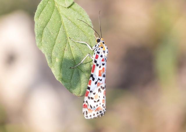 crimson manchado / crimson-speckled flunkey