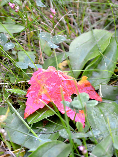 Red Maple Leaf on Grass