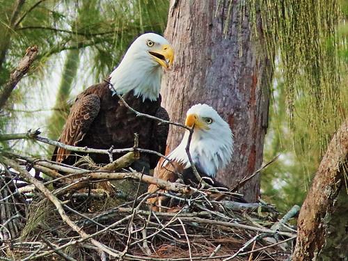 Bald Eagle pair nestoration 07-20190921