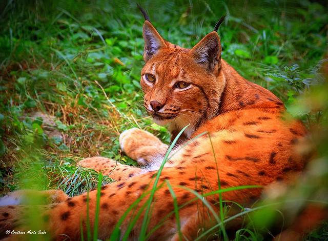 Juvenile Eurasian Lynx is resting (Lynx lynx)