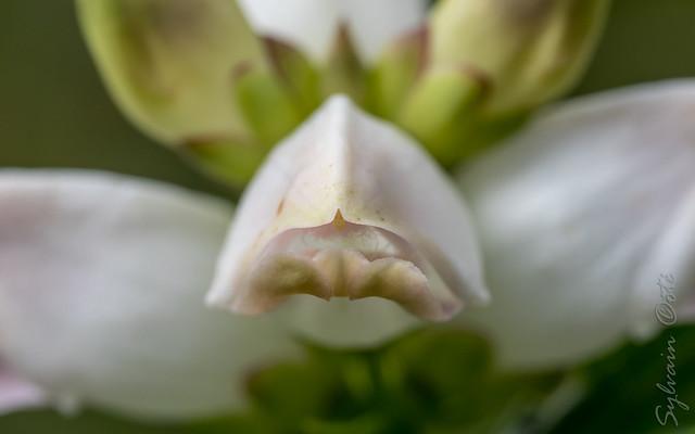 Galane glabre / White Turtlehead [Chelone glabra]