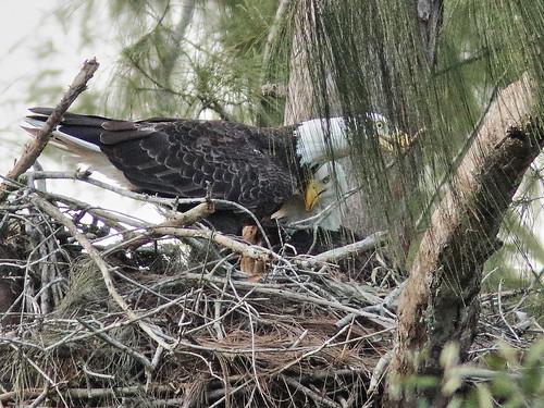 Bald Eagle pair nestoration 03-20190921