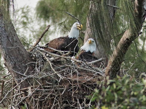 Bald Eagle pair nestoration 01-20190921