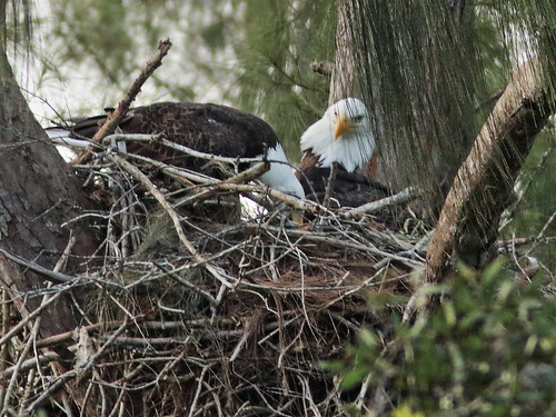 Bald Eagle pair nestoration 02-20190921