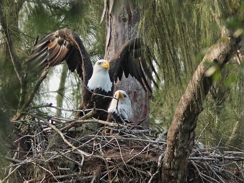Bald Eagle pair nestoration 09-20190921