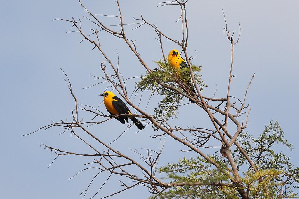 Oriole Blackbirds