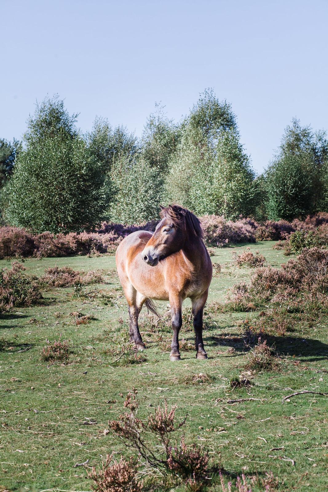 Sutton Park Ponies