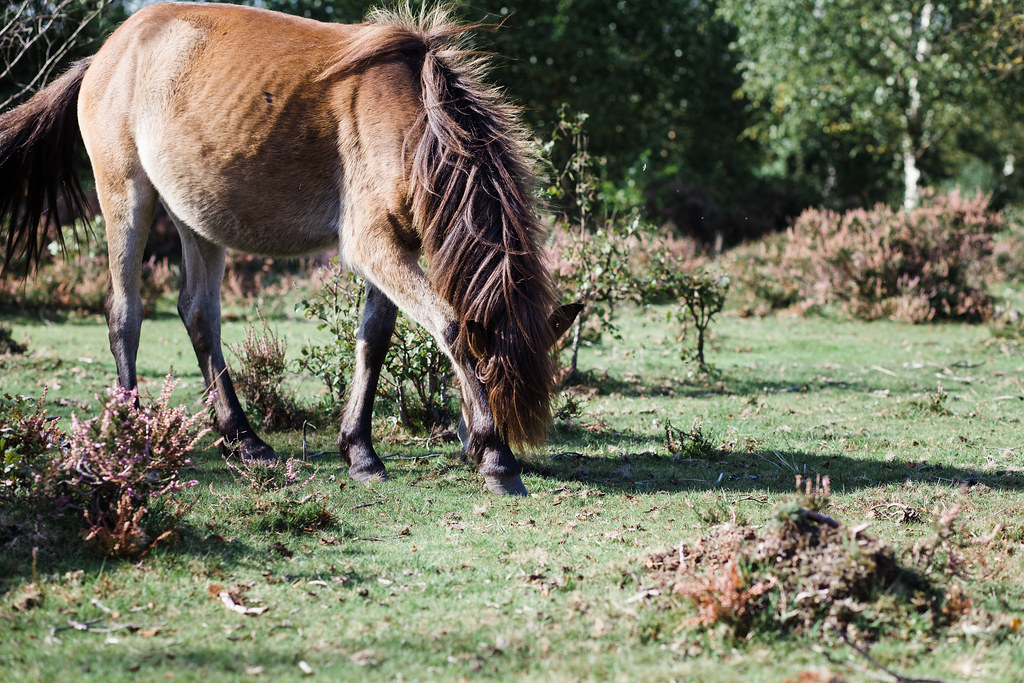 Exmoor Ponies in Sutton Park
