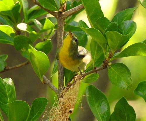 Northern Parula On Key West - Florida - USA