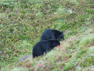 Bears 1 & 2