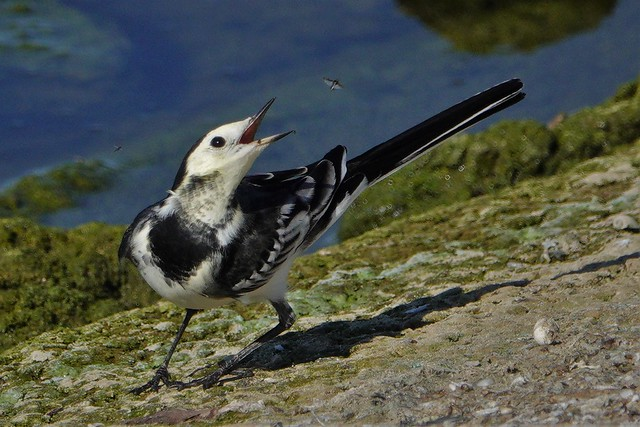 pied wagtail fly catching