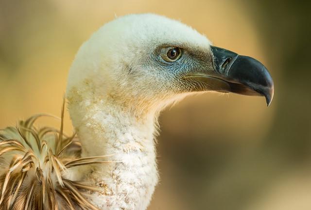 Portrait of a vulture ..............FL