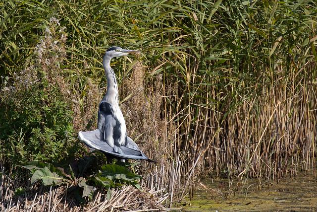 Grey heron sunbathing (Westhay Moor)