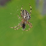 So, 15.09.19 - 13:12 - Araneus diadematus European garden spider  Olympus m.Zuiko 40-150mm F2.8 PRO + MC14 Supertelemacro