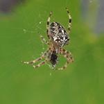 So, 15.09.19 - 13:12 - Araneus diadematus European garden spider  Olympus m.Zuiko 40-150mm F2.8 PRO + MC14 Supertelemacro