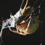Fr, 13.09.19 - 18:38 - Araneus diadematus European garden spider  Olympus m.Zuiko 40-150mm F2.8 PRO + MC20 Supertelemacro