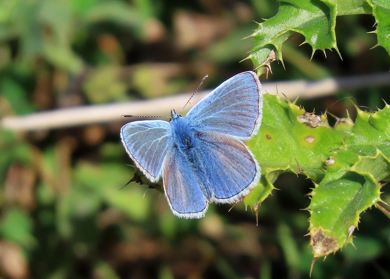 Common Blue - Polyommatus icarus