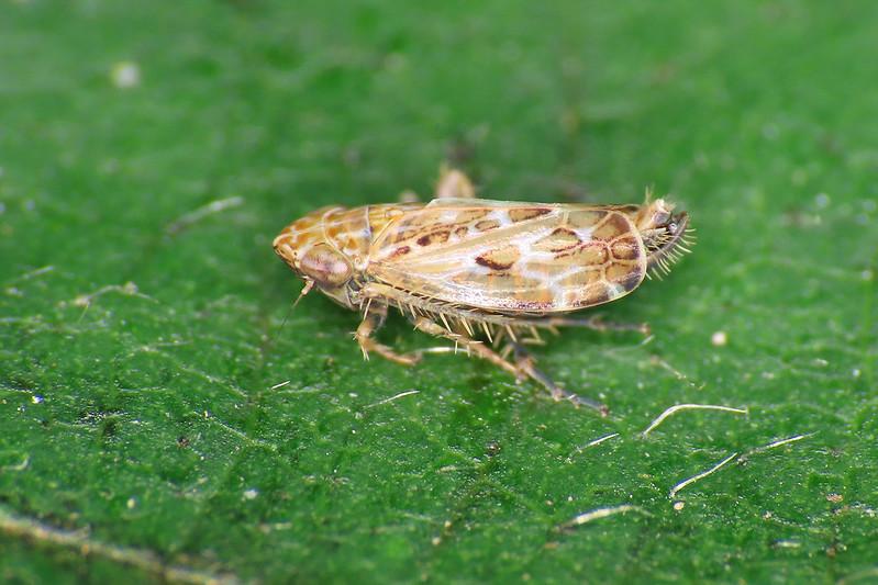 Errastunus ocellaris