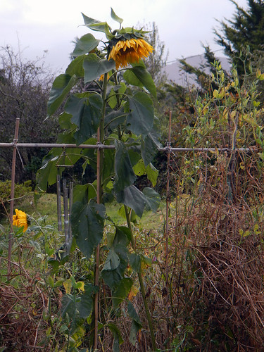 Sunflowers in October in Sneem's beautiful gardens