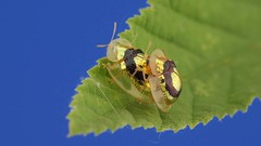 VIDEO Cute Golden Target Beetles mating x