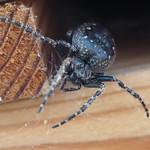 Sa, 14.09.19 - 19:07 - Nuctenea umbratica  Walnut Orb-weaver Spider   Olympus m.Zuiko 60mm F2.8 Macro