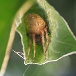 Sa, 14.09.19 - 19:03 - Araneus diadematus European garden spider  Olympus m.Zuiko 60mm F2.8 Macro