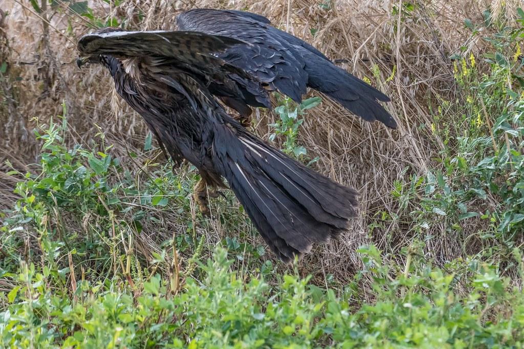 Dark Morph Hawk (1 of 2)