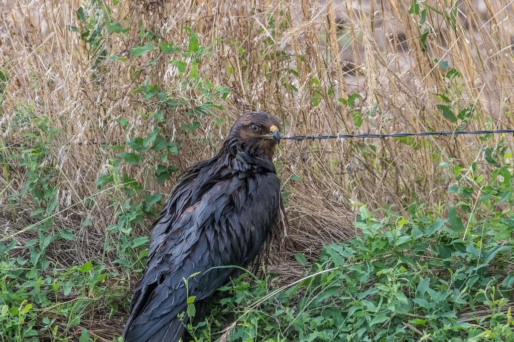 Dark Morph Hawk (2 of 2)