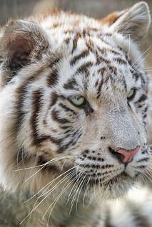 Close white tiger portrait