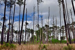 That Voice You're Hearing Is the Wind Blowing Through the Trees (Congaree National Park)