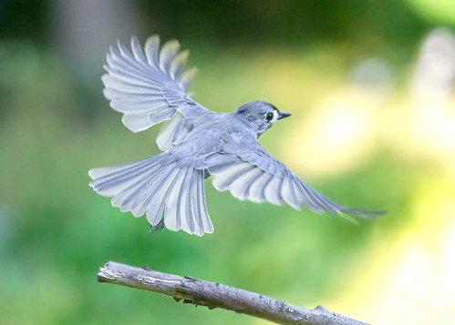 Tufted Titmouse Taking Off Into The Setting Sunlight