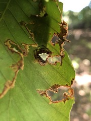 Arrowhead Spider, Verrucosa arenata.