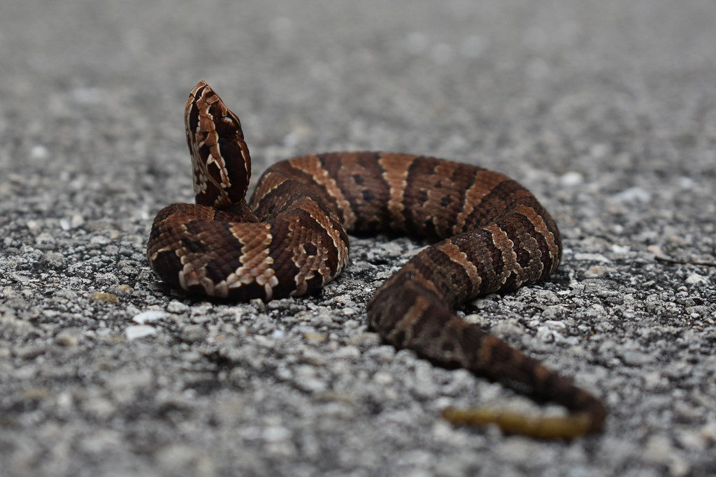 baby cottonmouth   Juvenile cottonmouth snake FWC photo by ...