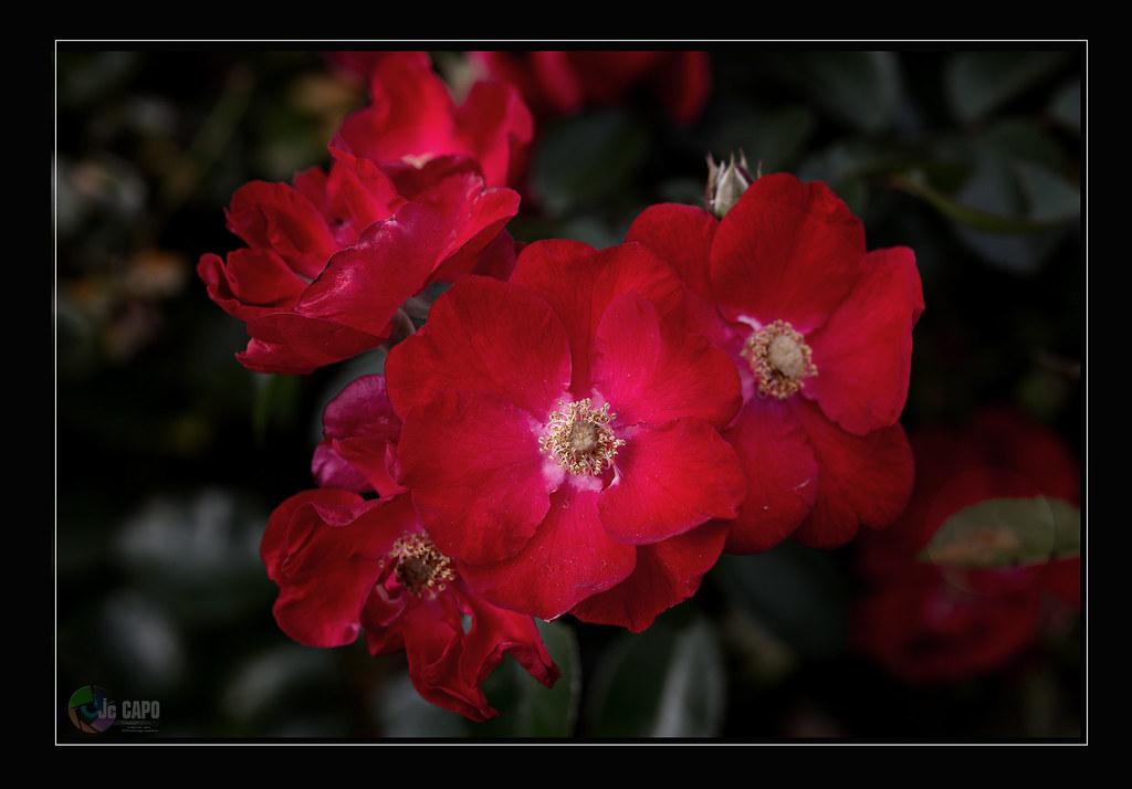 Rosa moyesii ; La rose n'a d'épines que pour celui qui veut la cueillir.  Proverbe chinois
